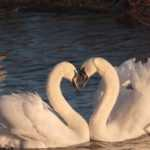 Чертог Лебедя — значение, описание и характеристика амулета Значение Чертога Лебедь: описание и характеристика оберегов