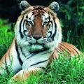 Камни года тигра, описанные здесь минералы будут защищать человека родившегося под знаком тигра